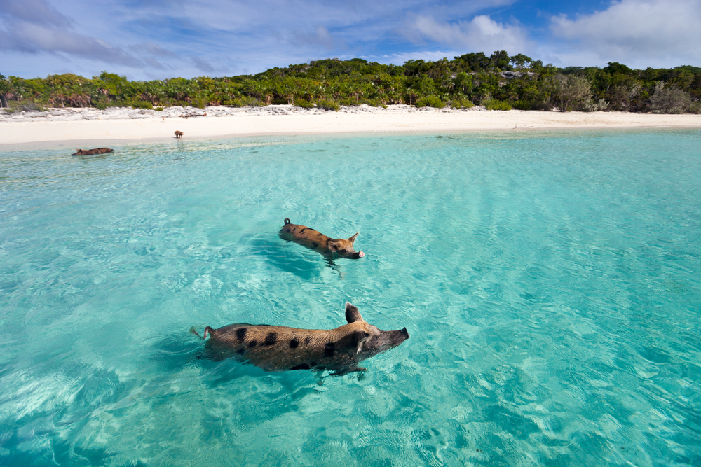 pigs along the white sandy beaches and swimming in the clear waters of the Exumas