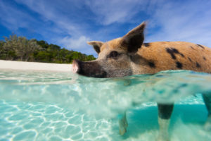 close up of pig swimming in the crystal clear waters of the Exuma Islands